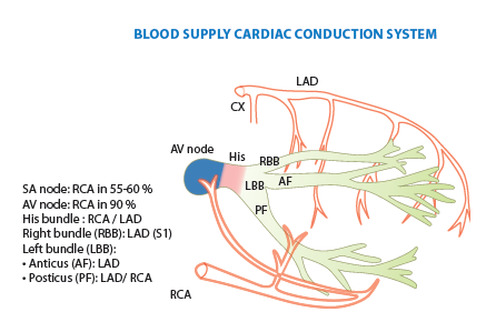 BloodSupplyCardiacConductionSystem.png